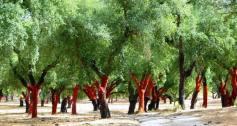 cork-forest